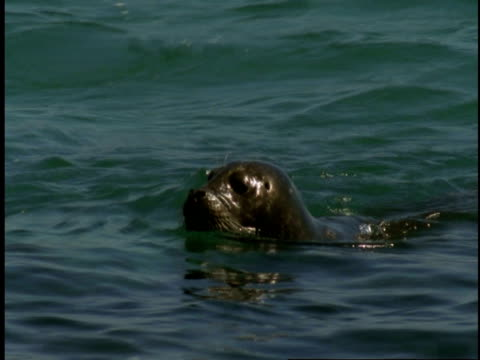 a harbour seal swims and dives under the surface of monterey bay. - harbour seal stock videos & royalty-free footage