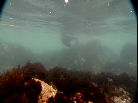 a harbour seal swims in between rocks and the ocean surface. - harbour seal stock videos & royalty-free footage