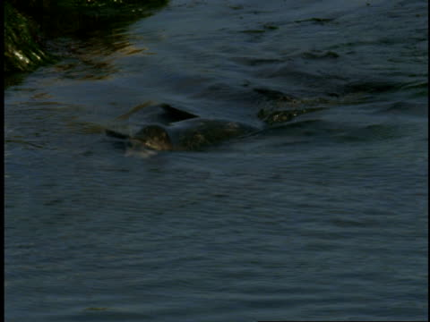 a harbour seal swims near a grassy shoreline. - harbour seal stock videos & royalty-free footage