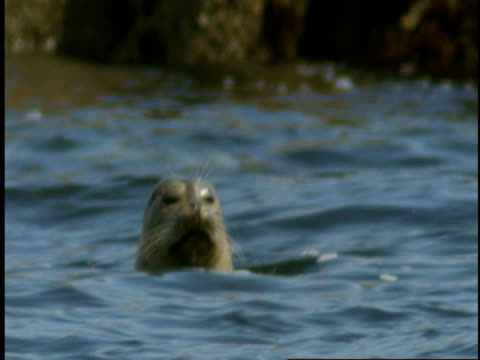 a harbour seal swims on the surface before diving beneath the water of monterey bay. - harbour seal stock videos & royalty-free footage