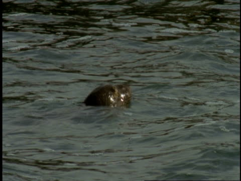 a harbour seal swims with its head poking just above the water. - harbour seal stock videos & royalty-free footage