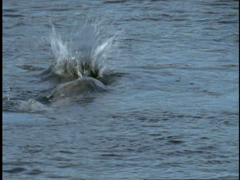 a harbour seal turns over and dives under water. - harbour seal stock videos & royalty-free footage