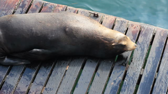 harbour seal - newport oregon stock videos & royalty-free footage