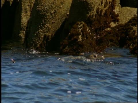 vídeos de stock, filmes e b-roll de harbour seals float in the currents near the shore of monterey bay. - mamífero aquático