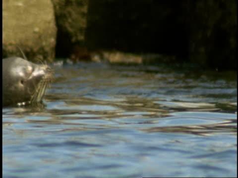 vídeos de stock, filmes e b-roll de harbour seals float off the shore of monterey bay. - mamífero aquático