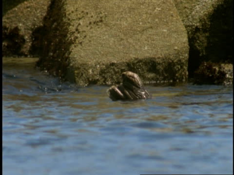 harbour seals float on the tide of monterey bay. - diving flipper stock videos & royalty-free footage