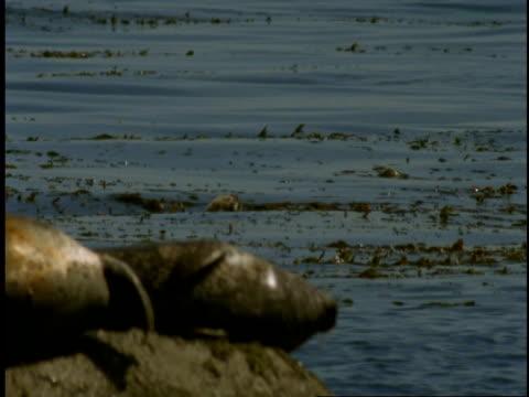 vídeos de stock, filmes e b-roll de harbour seals rest on a rock as kelp floats in the currents of monterey bay. - mamífero aquático