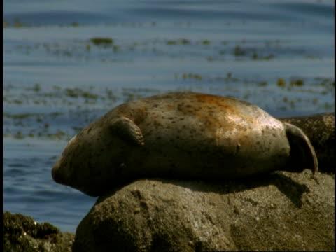 vídeos de stock, filmes e b-roll de harbour seals rest on a rock as kelp floats in tide of monterey bay. - mamífero aquático
