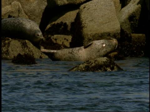 vídeos de stock, filmes e b-roll de harbour seals rest on rocks on the shore of monterey bay. - mamífero aquático