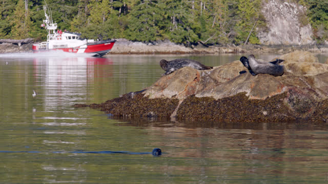 slo mo. harbour seals swim and rest on a rock as a boat passes. - british columbia stock videos & royalty-free footage