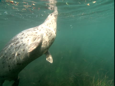 harbour seals swim in shallow water. - harbour seal stock videos & royalty-free footage