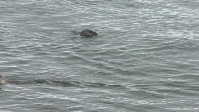 harbour seals swim off the coastline of northern iceland. - seals stock videos and b-roll footage