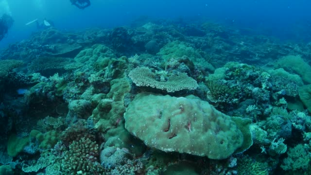 Hard coral colony, undersea reef