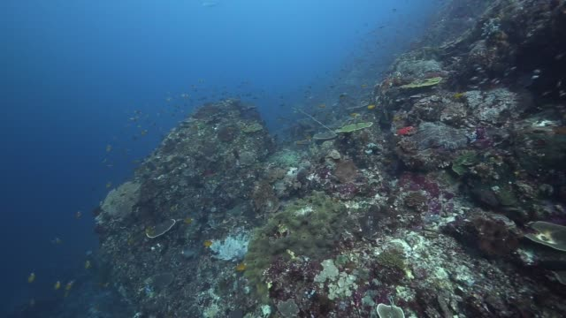 a hard coral wall of the island of flores indonesia - aquatic organism stock videos & royalty-free footage
