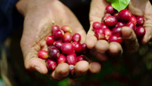 A hard working farmer holds the coffee cherries he recently picked in his hands, and pours them into his bucket in slow motion. These cherries are then dried and the pulp is removed. This is what your coffee starts like!