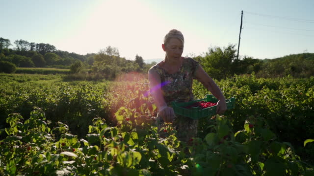 hardworking senior woman walking through field with a crate and picking raspberries - raspberry stock videos & royalty-free footage
