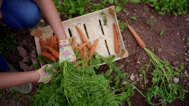 hardworking woman is gathering and tying up the carrots in bunches - organic stock videos & royalty-free footage