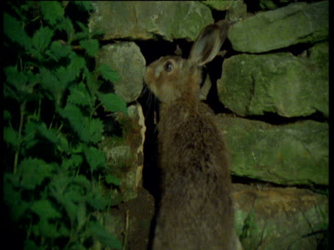 Hare sniffs at then enters hole in old dry stone wall, UK