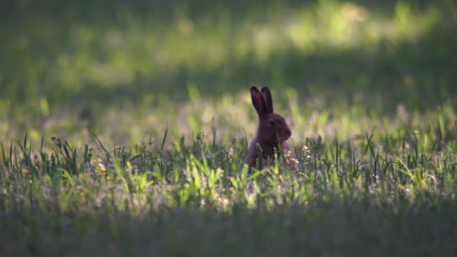 hare - animals in the wild stock videos & royalty-free footage