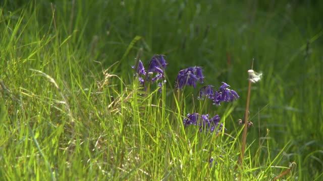 harebell wild flowers in field - prairie stock videos & royalty-free footage