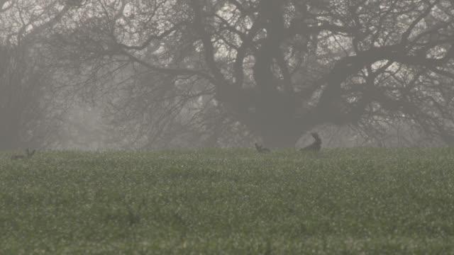 vídeos de stock e filmes b-roll de hares (lepus europaeus) run and chase on misty dew covered airfield, essex, england - nevoeiro