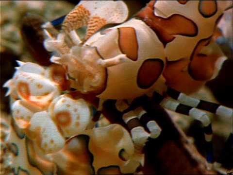 a harlequin shrimp attacks a starfish. - red sea stock videos & royalty-free footage