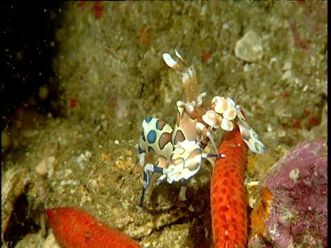 vídeos y material grabado en eventos de stock de harlequin shrimp on starfish, phuket - mar de andamán