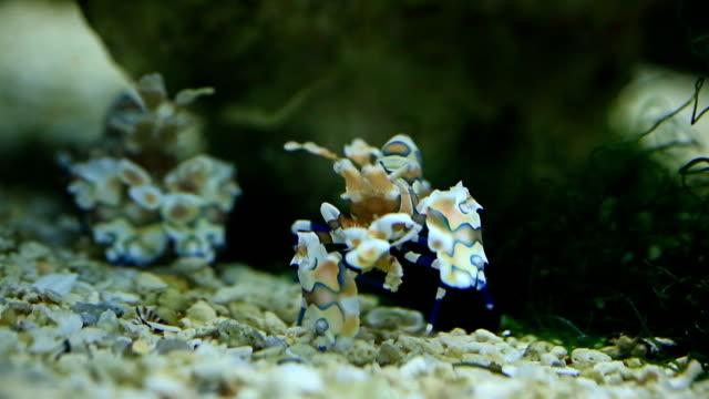 harlequin shrimp - undersea stock videos & royalty-free footage