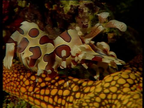 harlequin shrimp walks over starfish's body - 動物の色点の映像素材/bロール