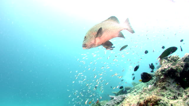 Harlequin Sweetlips with other tropical reef fish swimming over reef
