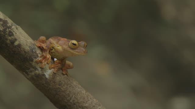 Harlequin Tree frog on branch