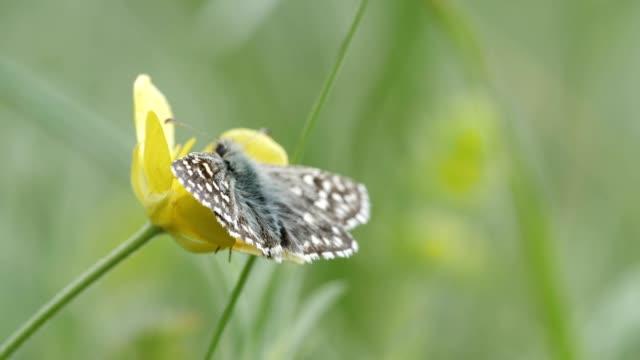 自然の中のハーモニー。黄色い春の花の上の蝶の極端なクローズアップ。 - gフォース点の映像素材/bロール