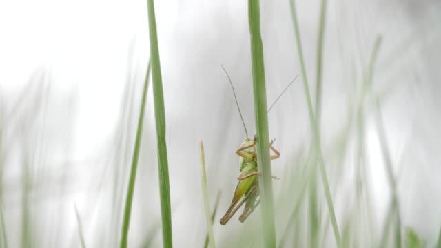 自然の中のハーモニー。緑の春の草を保持クリケットの極端なクローズアップ。 - gフォース点の映像素材/bロール