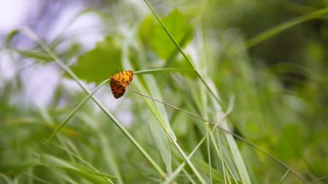 自然の中のハーモニー。緑の草の背景にオレンジの蝶の極端なクローズアップ。 - gフォース点の映像素材/bロール