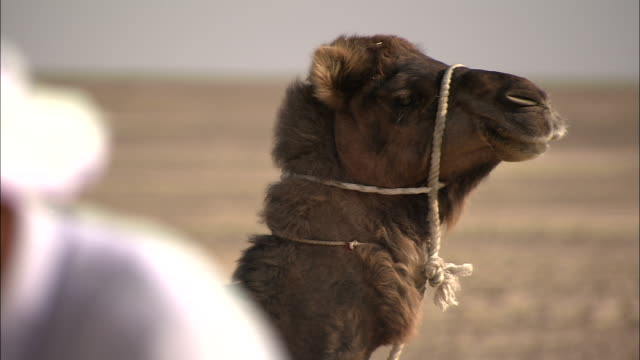 a harnessed camel rests near its rider. - campeggiare video stock e b–roll