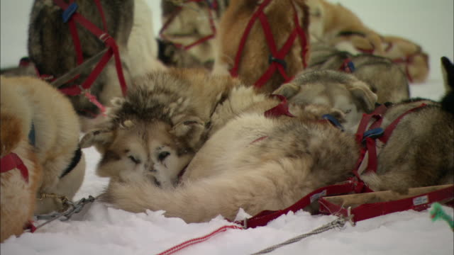 Harnessed sled dogs rest in the snow.