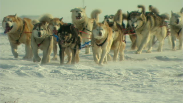 Harnessed sled dogs slowly pull a sled over the snow.