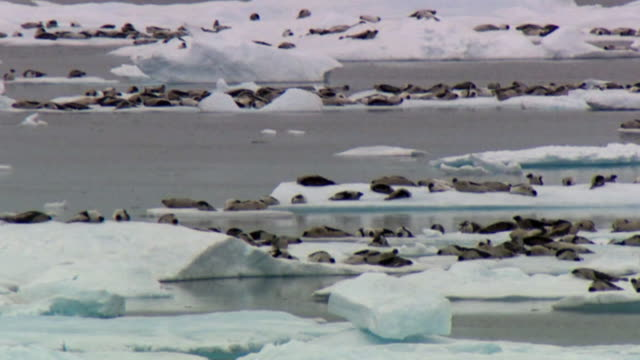 WS PAN Harp Seals (Phoca groenlandica) on ice floes in sea, Lancaster Sound, Nunavut, Canada