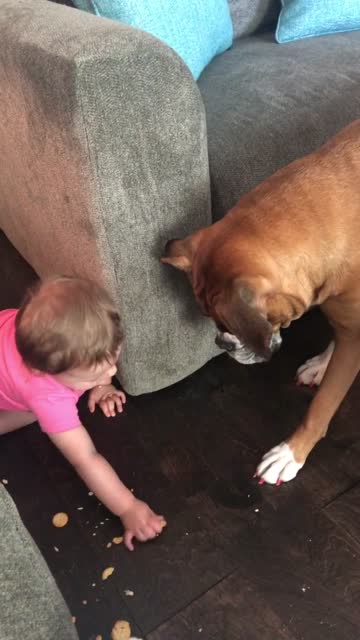 stockvideo's en b-roll-footage met harper is trying to feed faith the boxer but she keeps dropping the crackers. just wait until the end! - genomen met mobiel apparaat