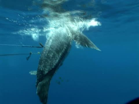 Harpooned Leatherback turtle (Dermochelys coriacea) breathing at surface, Kei Islands, Indonesia