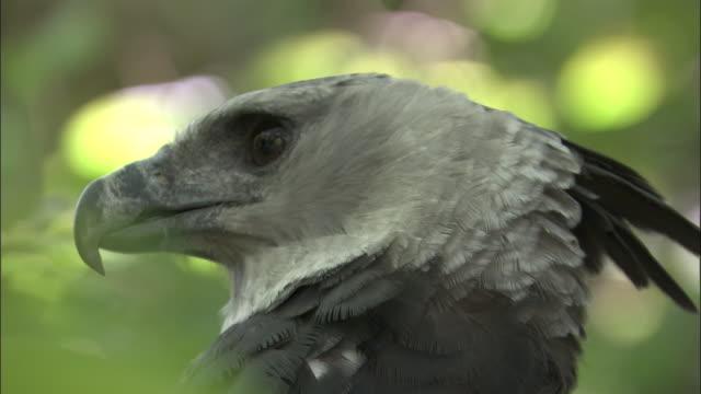 stockvideo's en b-roll-footage met harpy eagle (harpia harpyja) calls in forest, panama - harpij arend