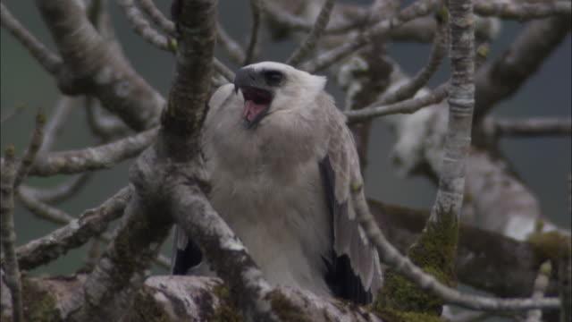 stockvideo's en b-roll-footage met harpy eagle (harpia harpyja) calls in tree, panama - harpij arend