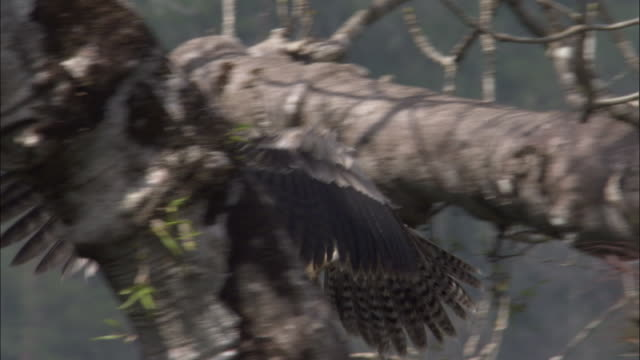 stockvideo's en b-roll-footage met harpy eagle (harpia harpyja) flies between branches in tree, panama - harpij arend