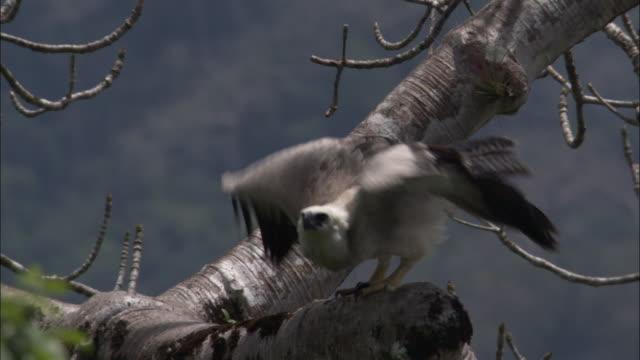 stockvideo's en b-roll-footage met harpy eagle (harpia harpyja) flies out of tree, panama - harpij arend