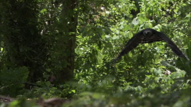 stockvideo's en b-roll-footage met harpy eagle (harpia harpyja) flies through forest, panama - harpij arend