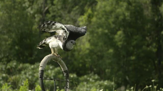 stockvideo's en b-roll-footage met slo mo, ms, pan, harpy eagle (harpia harpyja) flying above meadow, wisconsin, usa - harpij arend