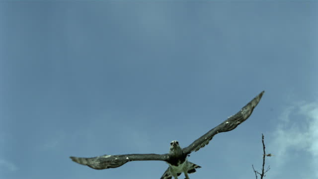 stockvideo's en b-roll-footage met slo mo, ms, la, harpy eagle (harpia harpyja) flying against blue sky, wisconsin, usa - harpij arend