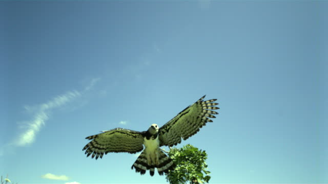 slo mo, ms, la, harpy eagle (harpia harpyja) flying against blue sky, wisconsin, usa - claw stock videos & royalty-free footage