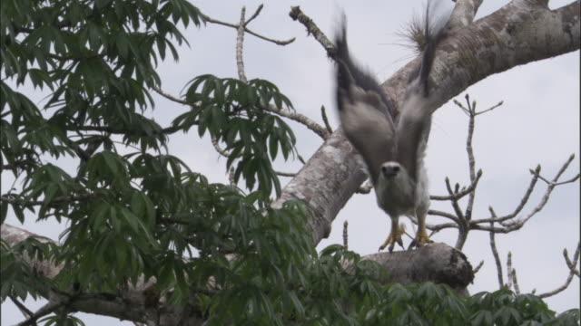 stockvideo's en b-roll-footage met harpy eagle (harpia harpyja) juvenile flies between branches in tree, panama - harpij arend