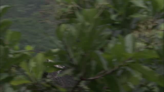 stockvideo's en b-roll-footage met harpy eagle (harpia harpyja) juvenile flies to tree, panama - harpij arend